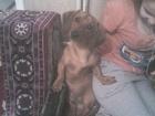 Новое фотографию Вязка собак вязка 38870171 в Томске