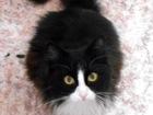 Новое фотографию Отдам даром - приму в дар В добрые руки отдается кот Федя, 1 год, кастрирован, 39664061 в Томске