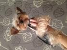 Смотреть фотографию Вязка собак Вязка йоркширский терьер кобель йорк 51471054 в Томске