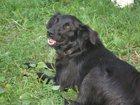 Фото в  Отдам даром - приму в дар У меня прожил 14 лет пёс дворовой породы в Туле 0