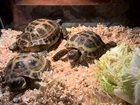 Увидеть изображение  Черепаха сухопутная 34111229 в Туле