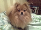 Уникальное foto Вязка собак Вязка 37219458 в Туле