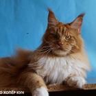 Мейн куны - кошки великаны