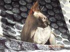 Новое изображение Вязка Кошечка (донской сфинкс) ищет мальчика! 32333904 в Твери