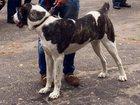 Фотография в Help! Находки В районе Крупского пропала собака , девочка в Твери 0