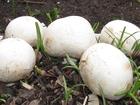 Изображение в   У Вас есть желание заняться разведением грибов? в Твери 1980