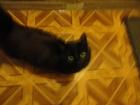 Уникальное фото Потерялись животные Найдена черная домашняя кошка 50964754 в Твери