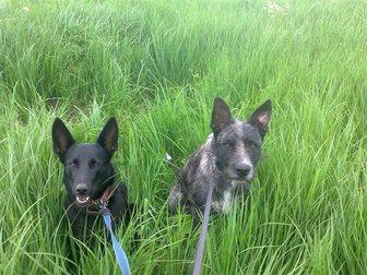 Скачать фотографию Продажа собак, щенков Щенки даром 32661189 в Твери