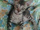 Изображение в Одежда и обувь, аксессуары Женская одежда Продаются котята породы корниш-рекс!   Окрас: в Уфе 0