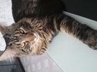 Смотреть изображение Вязка Кот для вязки Мейн- кун без документов 36289745 в Уфе