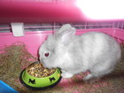 Свежее фотографию  Карликовый кролик 36591774 в Уфе