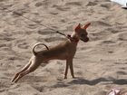 Изображение в Потерянные и Найденные Потерянные Потерялся мой любимый пёсик, кобель мелкой в Уфе 0