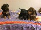 Фотография в Собаки и щенки Продажа собак, щенков Продаются щенки спаниеля родились 7 сентября в Уфе 0