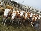 Фото в   Телки симменталы с населения  Собираем скот в Уфе 130