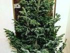 Свежее фото  Новогодние Пихты в Уфе по очень выгодной цене! 50555331 в Уфе