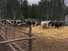 Просмотреть фотографию Другие животные Нетели черно пестрой породы 69438545 в Магнитогорске