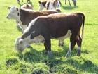 Уникальное фотографию Другие животные Герефорд чистопородные коровы и телята 76750297 в Самаре
