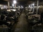 Скачать foto  Чернор Пестрая дойная корова со 2-5 отел! 76768342 в Уфе