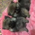 Шпицы щенки два месяца с родословной