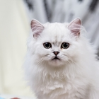 Высокопородный котик хайленд страйт драгоценного окраса