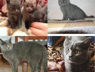Британские котята Продам британских котят 2 мальчика, 2 девочки. В низу на фото