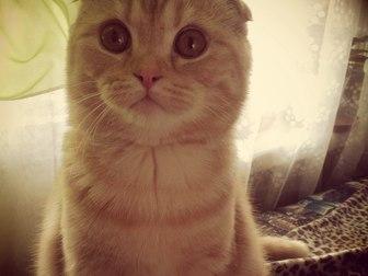 Скачать бесплатно foto Отдам даром - приму в дар Отдам Даром в Добрые руки Шотландского вислоухого кота 40986691 в Уфе
