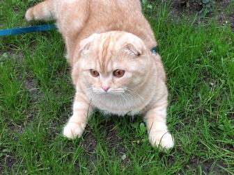 Смотреть фото Отдам даром - приму в дар Отдам Даром в Добрые руки Шотландского вислоухого кота 40986691 в Уфе