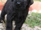 Изображение в Собаки и щенки Продажа собак, щенков 1 сентября родился помёт ризеншнауцеров чёрного в Ухте 0
