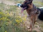 Новое фотографию Вязка собак Молодой кабель ищет подругу 64589485 в Улан-Удэ