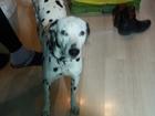 Увидеть изображение Вязка собак обаятельная и привлекательная, веселая и задорная сучка - далматин ищет мальчика 69817189 в Улан-Удэ