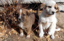 Щенки от крупной собаки Белка и Стрелка ищут дом