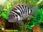 Изображение в Рыбки (Аквариумистика) Аквариумные рыбки Куплю 2-х самцов чернополосых цихлазом. Желательно в Ульяновске 0
