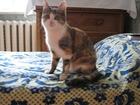 Фотография в Кошки и котята Вязка Красивая симпатичная трехцветная молодая в Ульяновске 0