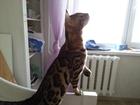 Уникальное изображение Вязка Бенгальский кот вязка 38415743 в Ульяновске