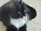 Новое foto Вязка коту нужна кошка 39115726 в Ульяновске