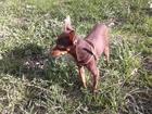 Изображение в Собаки и щенки Продажа собак, щенков Опытный той шоколадного окраса, ищет невесту. в Великом Новгороде 3000