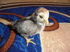 Скачать бесплатно foto Птички Цыплята разных возрастов, молодые петушки, яйца инкубационные 38875968 в Великом Новгороде