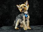 Новое фотографию Вязка собак Кобель для вязки 39584622 в Великом Новгороде