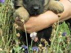 Фотки и картинки Немецкая овчарка смотреть в Видном