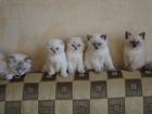 Фотография в Кошки и котята Продажа кошек и котят Продаются клубные голубоглазые котята. Мальчики в Москве 0