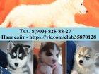 Изображение в Собаки и щенки Продажа собак, щенков Хасей чистокровных щеночков продам) В продаже в Владимире 111