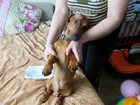 Изображение в Собаки и щенки Вязка собак Молодой воспитанный мальчик такса- ДИАМАНТ в Владимире 0