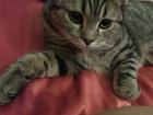 Изображение в   Ищем кота для вязки породы шатланкой скотти- в Владимире 0