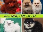 Изображение в Собаки и щенки Продажа собак, щенков Продам очаровательных щеночков шпица разных в Владимире 0