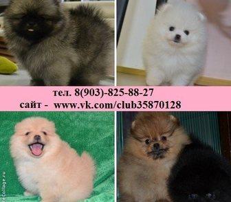 Фото в Собаки и щенки Продажа собак, щенков Щенки померанского шпица по минимальным ценам в Владимире 0