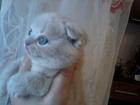 Фотография в   Продаю красивых шотландских вислоухих котят. в Волгодонске 0