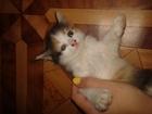 Изображение в Отдам даром - Приму в дар Отдам даром Отдам месячного котенка (девочку)в хорошие в Волгограде 0