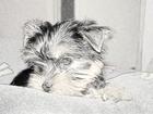 Изображение в Домашние животные Услуги для животных ПРОФЕССИОНАЛЬНЫЙ ГРУМЕР ПОДСТРИЖЕТ ВАШЕГО в Волгограде 0