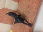 Скачать бесплатно фото Потерянные пропала сабака той терьер девочка черная в кировском районе остановка соленый пруд 33713543 в Волгограде