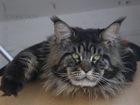 Изображение в Кошки и котята Продажа кошек и котят редлагаем котиков породы Мейн кун , с окрасом в Москве 40000